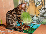 Кішки, кошенята Бенгальськая, ціна 26000 Грн., Фото