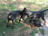 Собаки, щенята Ягдтер'єр, ціна 1 Грн., Фото