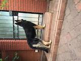 Собаки, щенки Восточно-Европейская овчарка, цена 3500 Грн., Фото