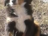 Собаки, щенки Бернская горная собака, цена 4999 Грн., Фото