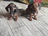 Собаки, щенки Гладкошерстная кроличья такса, цена 4000 Грн., Фото