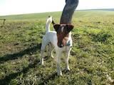 Собаки, щенята Гладкошерста фокстер'єр, ціна 500 Грн., Фото