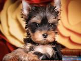 Собаки, щенки Йоркширский терьер, цена 33800 Грн., Фото