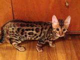 Кошки, котята Бенгальская, цена 13000 Грн., Фото