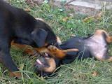Собаки, щенята Ягдтер'єр, ціна 1250 Грн., Фото