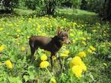 Собаки, щенки Спаривание, цена 900 Грн., Фото