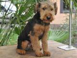 Собаки, щенки Вельштерьер, цена 1 Грн., Фото