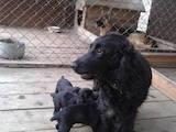 Собаки, щенки Английский спрингер спаниель, цена 690 Грн., Фото