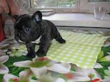 Собаки, щенки Французский бульдог, цена 10500 Грн., Фото