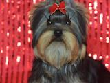 Собаки, щенки Йоркширский терьер, цена 26000 Грн., Фото
