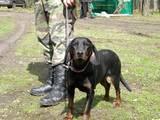 Собаки, щенята Естонський гончак, ціна 100 Грн., Фото