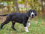Собаки, щенята Німецький дог, ціна 15000 Грн., Фото