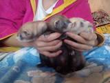 Тварини Фреткі, тхори, ціна 1100 Грн., Фото