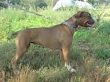 Собаки, щенята Американський стаффордширський тер'єр, ціна 6500 Грн., Фото