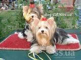 Собаки, щенята Йоркширський тер'єр, ціна 28000 Грн., Фото