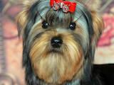 Собаки, щенята Йоркширський тер'єр, ціна 5000 Грн., Фото
