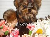 Собаки, щенята Йоркширський тер'єр, ціна 18000 Грн., Фото