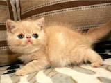Кішки, кошенята Екзотична короткошерста, ціна 5000 Грн., Фото