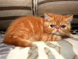Кішки, кошенята Екзотична короткошерста, ціна 4500 Грн., Фото
