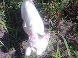 Кошки, котята Турецкая ангора, цена 400 Грн., Фото