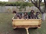 Собаки, щенята Німецька жорсткошерста лягава, ціна 3000 Грн., Фото