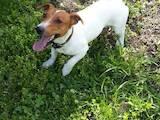 Собаки, щенята Джек Рассел тер'єр, ціна 1000 Грн., Фото