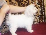 Собаки, щенята Мальтійська болонка, ціна 6500 Грн., Фото