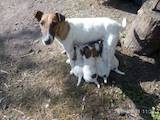 Собаки, щенята Гладкошерста фокстер'єр, ціна 1400 Грн., Фото