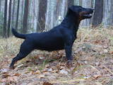 Собаки, щенята Ягдтер'єр, ціна 15000 Грн., Фото