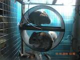 Грызуны Шиншиллы, цена 150 Грн., Фото