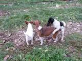 Собаки, щенята Гладкошерста фокстер'єр, ціна 2500 Грн., Фото