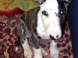 Собаки, щенята Бультер'єр, ціна 2800 Грн., Фото