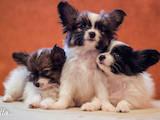 Собаки, щенята Папільон, ціна 13000 Грн., Фото