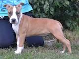 Собаки, щенки Американский стаффордширский терьер, цена 14500 Грн., Фото