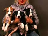 Собаки, щенки Американский стаффордширский терьер, цена 13000 Грн., Фото