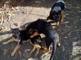 Собаки, щенята Німецька вівчарка, ціна 900 Грн., Фото