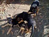 Собаки, щенки Немецкая овчарка, цена 900 Грн., Фото