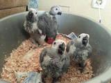 Попугаи и птицы Попугаи, цена 16500 Грн., Фото