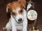 Собаки, щенки Джек Рассел терьер, цена 15000 Грн., Фото