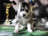 Собаки, щенки Сибирский хаски, цена 3000 Грн., Фото