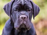 Собаки, щенки Кане Корсо, цена 18000 Грн., Фото
