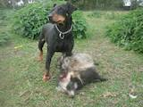 Собаки, щенята Ягдтер'єр, ціна 1500 Грн., Фото