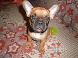 Собаки, щенки Французский бульдог, цена 350 Грн., Фото