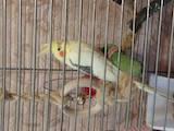 Попугаи и птицы Попугаи, цена 1500 Грн., Фото