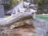 Собаки, щенята Аляска маламут, ціна 7 Грн., Фото
