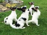 Собаки, щенки Папильон, цена 5500 Грн., Фото