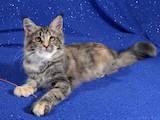 Кошки, котята Мэйн-кун, цена 8000 Грн., Фото