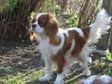 Собаки, щенки Кавалер-Кинг-Чарльз спаниель, цена 15500 Грн., Фото