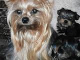 Собаки, щенята Йоркширський тер'єр, ціна 4999 Грн., Фото
