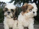 Собаки, щенки Ши-тцу, цена 2700 Грн., Фото